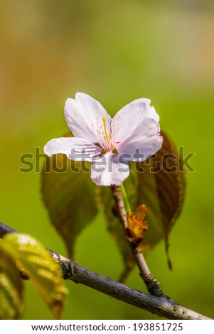 Pink cherry flower and some leaves on a twig against the smooth green, brown and orange background. This is a japanese sakura in full bloom. Vertical format photography. - stock photo