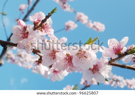Pink cherry flowers blooming in springtime. - stock photo