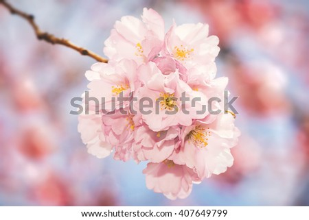 Pink cherry flowers in a cluster during a sunny spring day. Sweden - stock photo