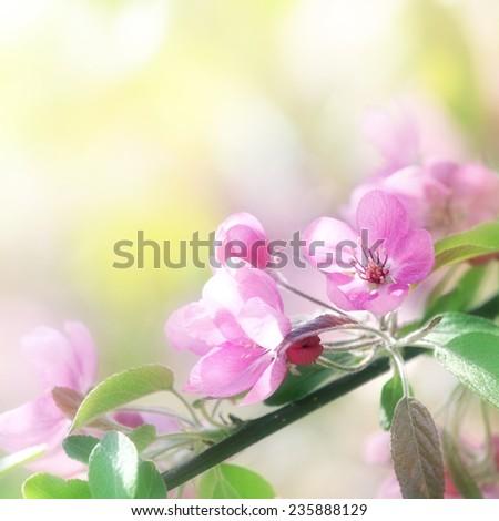 pink cherry flowers in sun light at spring season - stock photo