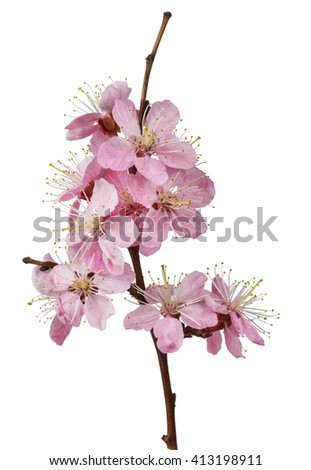 Pink cherry flowers on white background macro isolated - stock photo