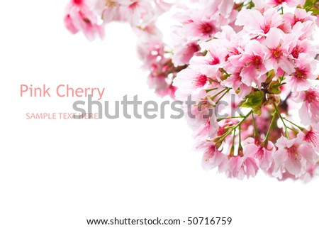 Pink cherry tree on a white background - stock photo