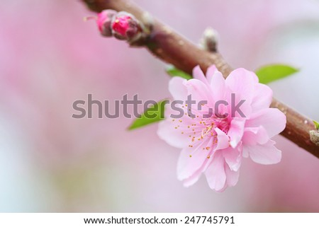 Pink Chinese plum flowers or Japanese apricot flowers, plum blossom - stock photo