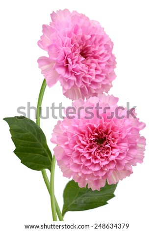 Pink  chrysanth, chrysanthemum Isolated on White Background