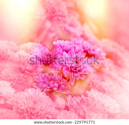 Pink chrysanthemum - stock photo