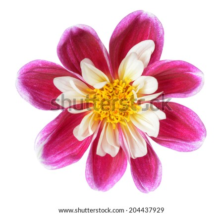 pink chrysanthemum dahlia isolated on white - stock photo