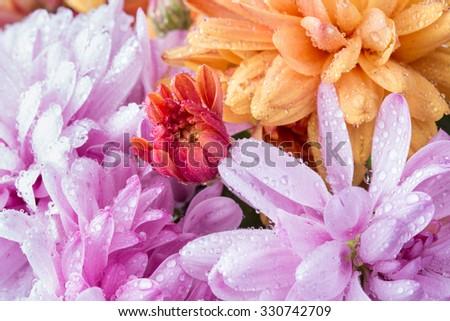 pink chrysanthemum flower and water drops in macro lens shot  - stock photo