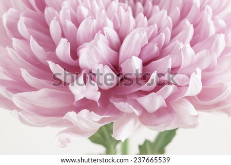 Pink Chrysanthemum Flower close up - stock photo