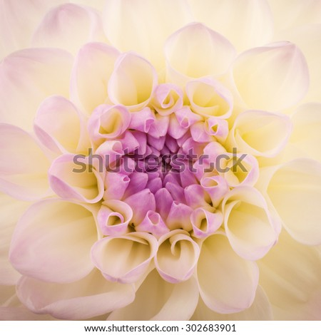 Pink chrysanthemum flower close-up, abstract background - stock photo