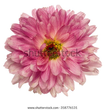 Pink chrysanthemum flower isolated on white background. - stock photo