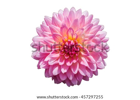 Pink Chrysanthemum Flower Isolated on White Background. - stock photo