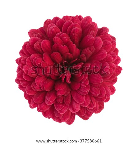 Pink chrysanthemum flower isolated on white background, clipping path - stock photo