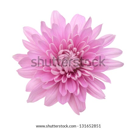 Pink Chrysanthemum Flower Isolated on White Background. Macro Closeup - stock photo