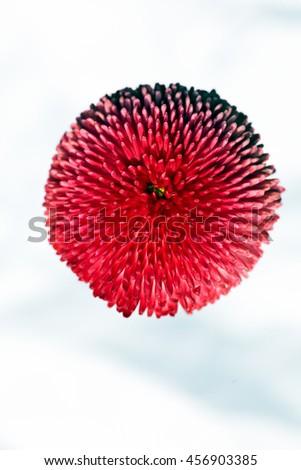 pink chrysanthemum flower on the white background - stock photo