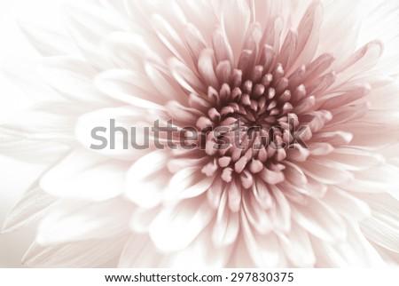 Pink Chrysanthemum flowers - stock photo