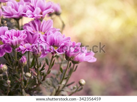 Pink Chrysanthemum flowers in garden - stock photo