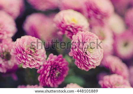 Pink chrysanthemum flowers macro image, floral vintage background