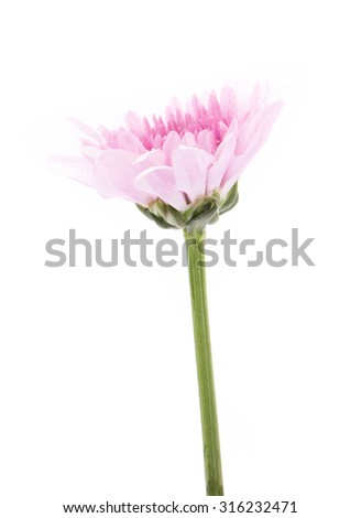 Pink chrysanthemum flowers with water droplets isolated on white background