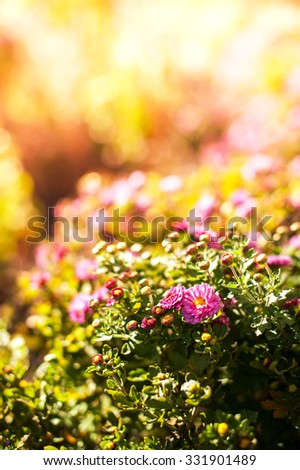 Pink Chrysanthemum In Garden Under Sunlight - stock photo