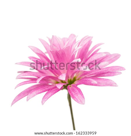 pink chrysanthemum isolated on a white background - stock photo