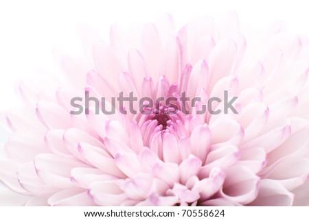 Pink chrysanthemum - macro photo isolated on white - stock photo