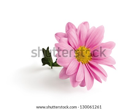 Pink chrysanthemum on a branch. isolated on white background - stock photo