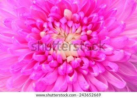 Pink chrysanthemum petals macro shot - stock photo