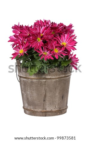 Pink chrysanthemum pot plant in bucket - stock photo