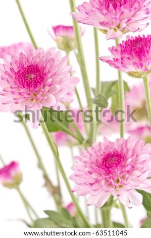 Pink chrysanthemums closeup. - stock photo