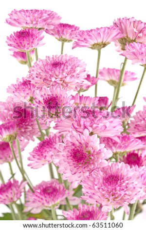 Pink chrysanthemums closeup.