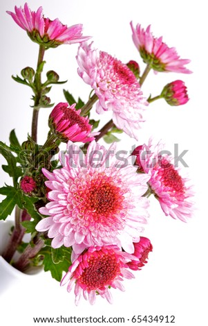 pink chrysanthemums with water drops in vase on white - stock photo
