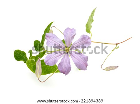 Pink clematis flower branch isolated on white background  - stock photo
