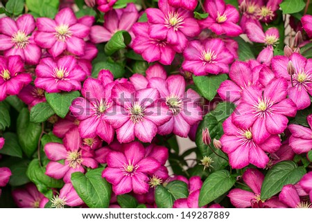 Pink clematis flowers.  - stock photo