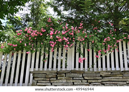 Pink climbing rose - stock photo