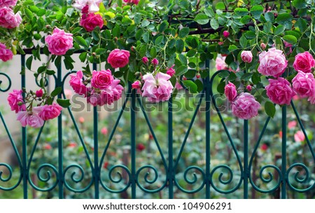 pink climbing rose with dew on blue forged fence in summer garden - stock photo