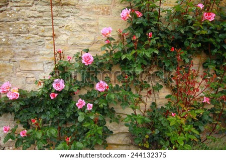 Pink climbing roses on the wall  - stock photo