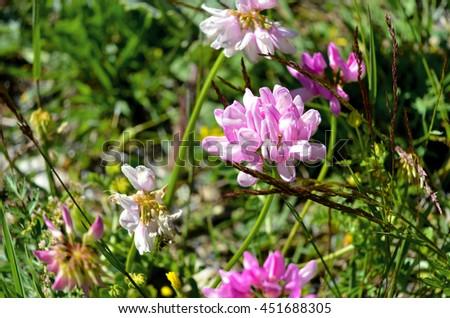 Pink Clover closeup alpine meadow - stock photo