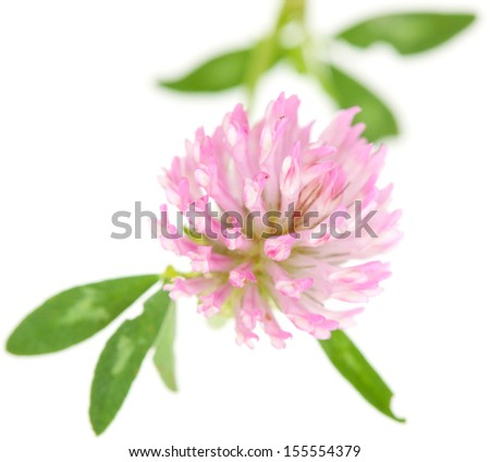pink clover isolated on white