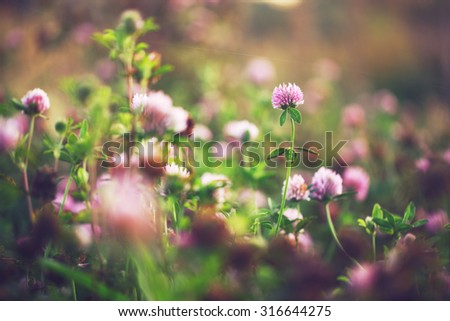 pink clover wild meadow flowers in field. Nature vintage autumn outdoor photo - stock photo