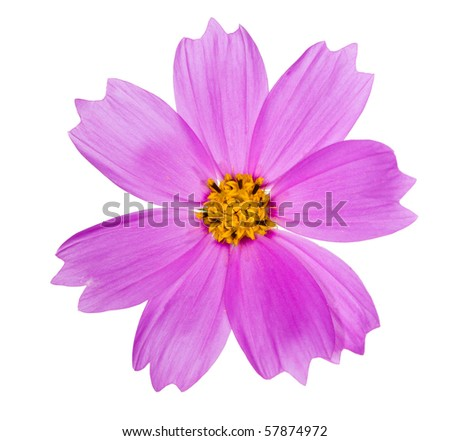 pink color flower isolated on white background - stock photo
