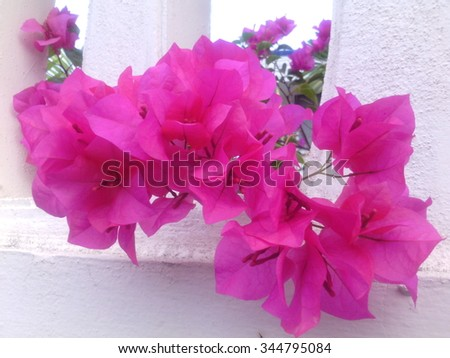Pink color flower name bougainvillea paper stock photo royalty free pink color flower name is bougainvillea paper flower or china rose flower mightylinksfo