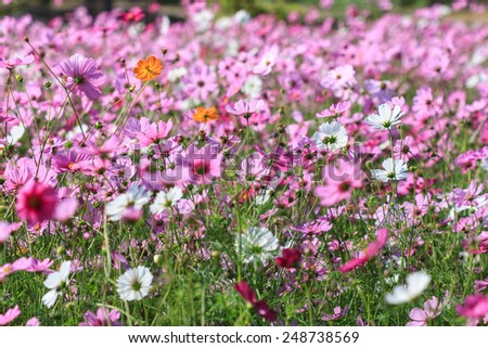 Pink color of cosmos flower