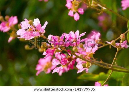 Pink color of Queen's crape myrtle flower.(Lagerstroemia speciosa (L.) Pers.)