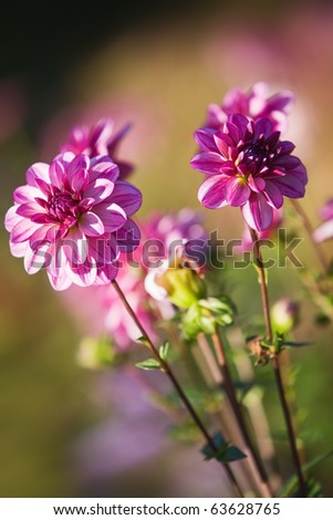 Pink colored dahlias in sunlight - stock photo