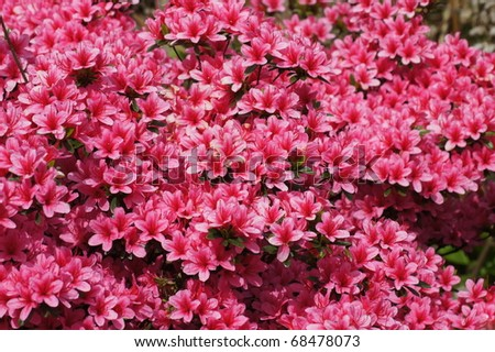 pink colorful azalea (rhododendron) in bloom - stock photo