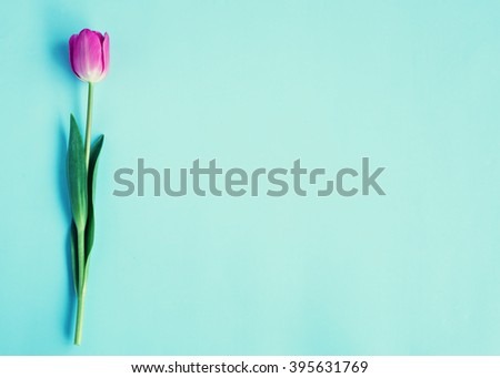 Pink colorful tulips over a blue background, in a flat lay composition with copy space - stock photo
