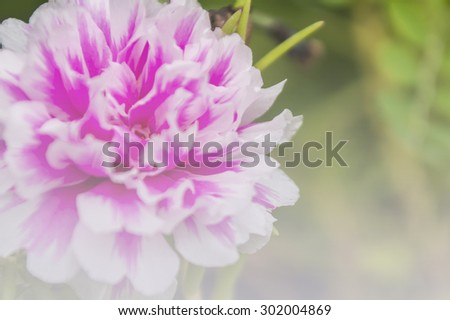 Pink common Purslane flower in soft style for background