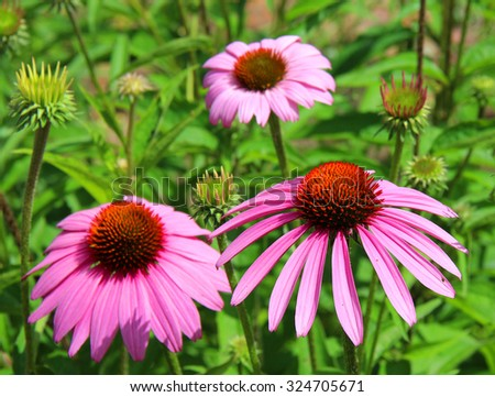 Pink coneflower cone flowers - stock photo