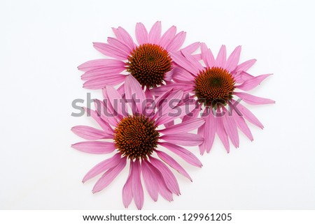 Pink coneflower head, isolated on white background - stock photo