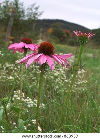 Pink  coneflowers,with wild daisies, fence and mountains in the background. - stock photo